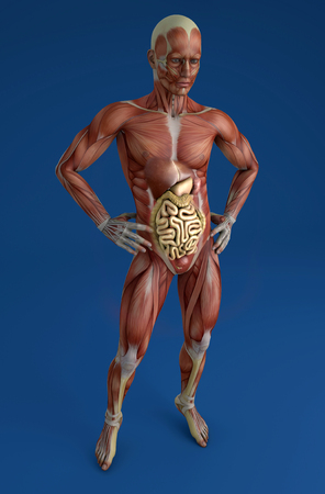 musculoskeletal: 3d person in front view with muscles and internal organs in transparency Stock Photo