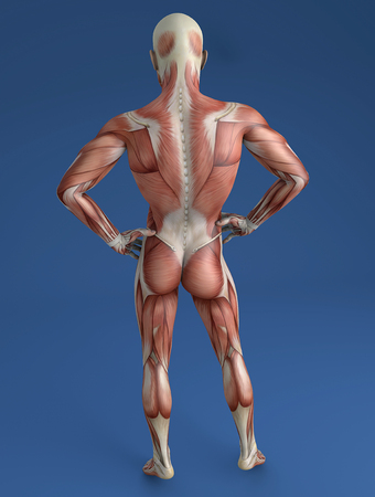 musculoskeletal: Person in 3d view from behind with muscles