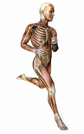 근육과 투명성에 내부 장기를 실행하는 3d 사람