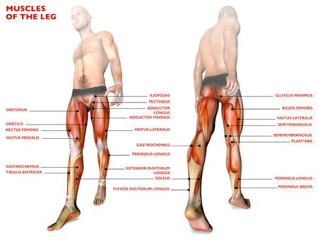 Beenspieren, menselijk lichaam, anatomie, spierstelsel. 3D-rendering