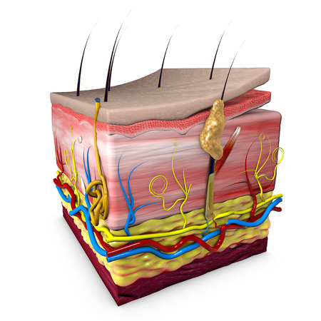 Human body skin section, anatomy, 3d section of human skin. 3d rendering