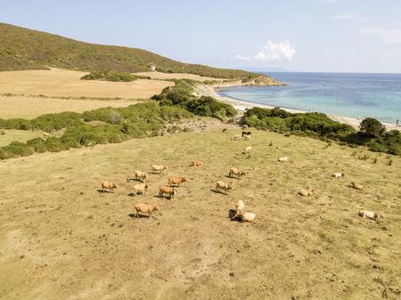 Aerial view of Tamarone beach, Plage de Tamarone, Cows grazing on a grassy meadow near the sea, Cap Corse peninsula, Macinaggio, Corsica, France