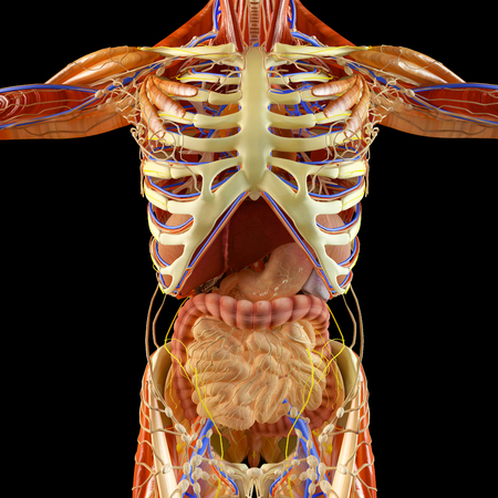 Human body, muscular system, person, digestive system, anatomy