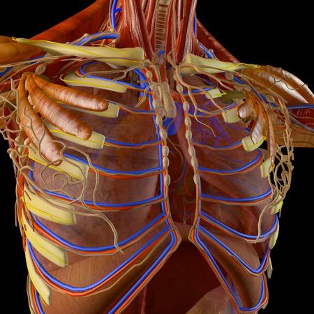 Cuerpo humano, vista de rayos X del aparato respiratorio y tracto digestivo en la caja torácica. Anatomía. Representación 3d