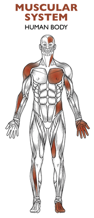 Human body, muscular system, man anatomy, frontal view