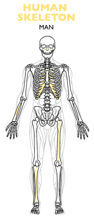 Human skeleton, the human skeleton is the internal framework of the body, man anatomy, frontal view on a white background Vectores