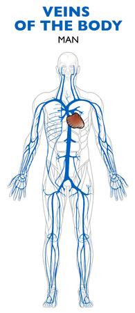 신체, 해부학, 인체의 정맥. 정맥은 혈액을 심장으로 운반하는 혈관입니다.
