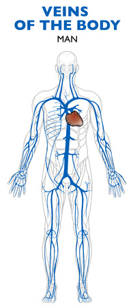 Veins in the body, anatomy, human body. Veins are blood vessels that carry blood towards the heart