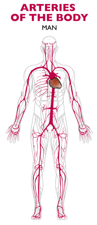 Arteries in the human body, anatomy. An artery is a blood vessel that takes blood away from the heart 일러스트