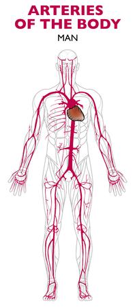Arterias en el cuerpo humano, anatomía. Una arteria es un vaso sanguíneo que extrae sangre del corazón. Ilustración de vector