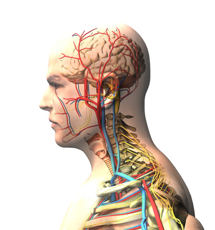 Man seen from the side, brain, face, x-ray view of arteries and veins, spine and rib cage. Human body, anatomy, 3d render