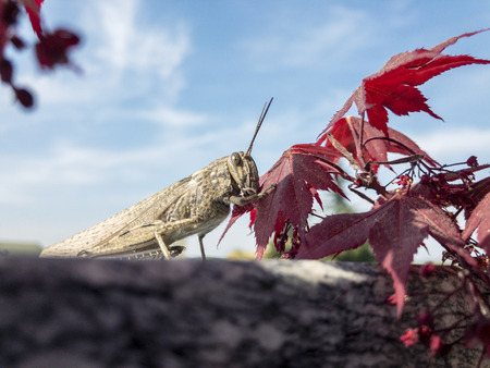 Closeup of a cricket. Insect near a red maple leaf. The cricket resting on a parapet of a terrace and eating a leaf