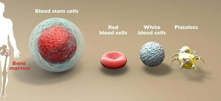Blood stem cell is an immature cell that can develop blood cells, including white blood cells, red blood cells, and platelets. Bone marrow. 3d render