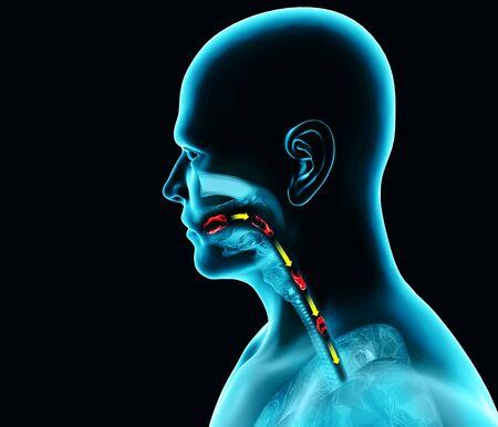 Disturbi della deglutizione, disfagia. Disfagia faringea ed esofagea. Fase orale. La via del cibo, l'atto della deglutizione. Raggi x della persona, rendering 3d. Anatomia umana Archivio Fotografico
