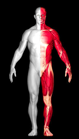 Study of human anatomy, naked man seen from the front divided into two. One half with skin the other half with muscles, écorché. 3d render