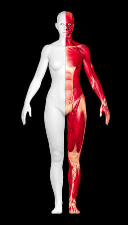 Study of human anatomy, naked woman seen from the front divided into two. One half with skin the other half with muscles, écorché. 3d render