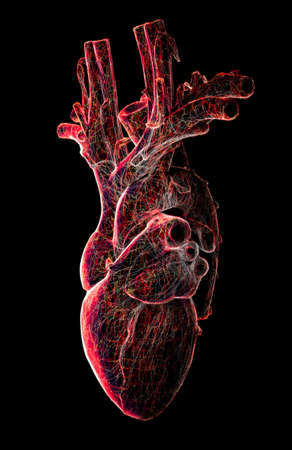 Anatomical study of a heart. Heart problems, heart attack. Surgery. 3d render. Silhouette The heart is a muscular organ, which pumps blood through the blood vessels of the circulatory system