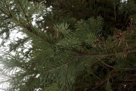 twig: spruce twig