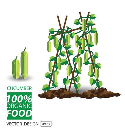 cucumber: cucumber, vegetables vector illustration