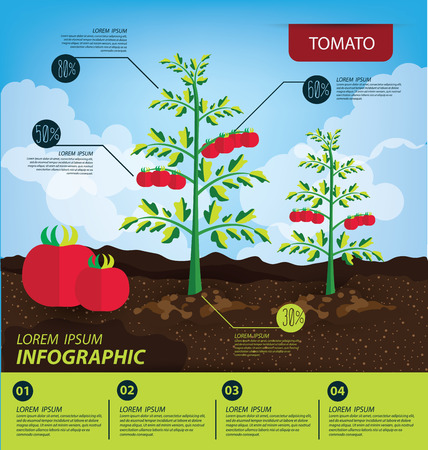 Tomato, infographics. vegetables vector illustration Иллюстрация