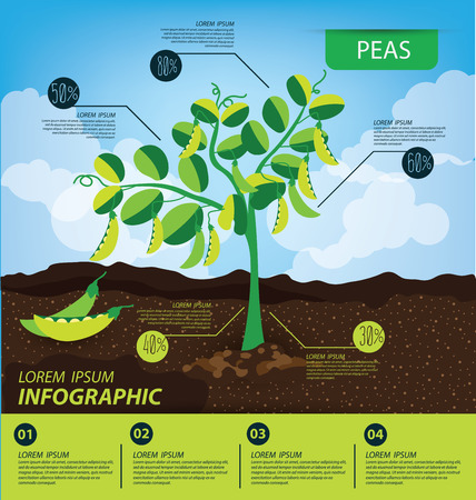 in peas: peas, infographics. vegetables vector illustration Illustration