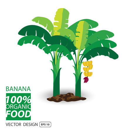 banana leaves: Banana, fruits vector illustration. Illustration