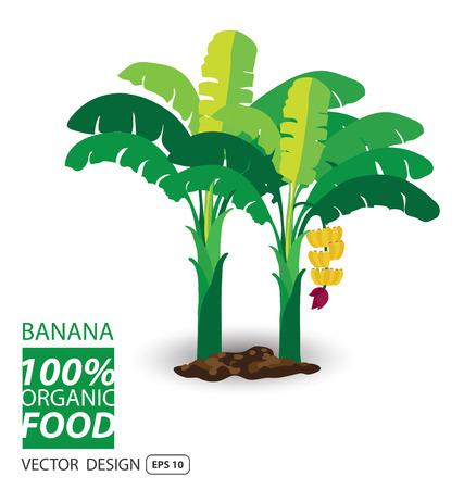 banana caricatura: Plátano, frutas ilustración vectorial.