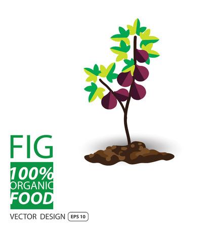 fig: Fig, fruits vector illustration.