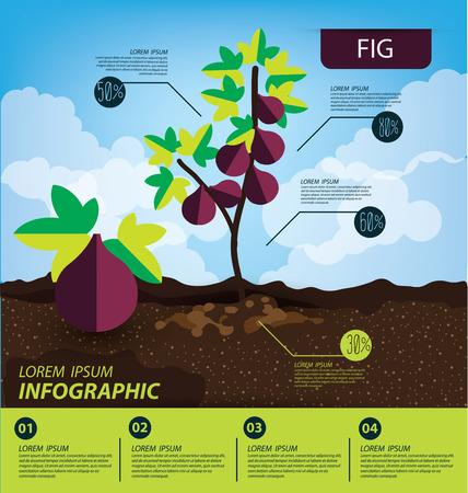 fig, infographics. fruits vector illustration.
