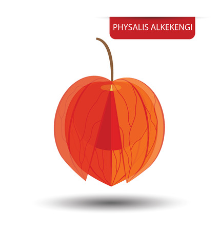 alkekengi: Physalis alkekengi, Physalis fruit vector illustration