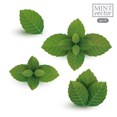 a sprig: fresh mint leaves isolated on white background. Vector illustration.