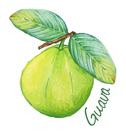 Guava. Hand drawn watercolor painting. Vector illustration.