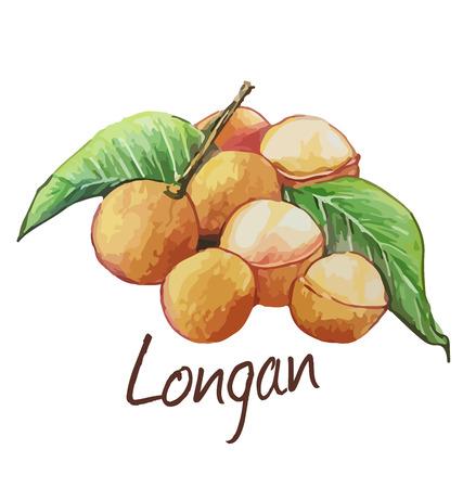 Longan. Hand drawn watercolor painting. Vector illustration.  イラスト・ベクター素材