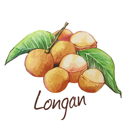 Longan. Hand drawn watercolor painting. Vector illustration. Çizim