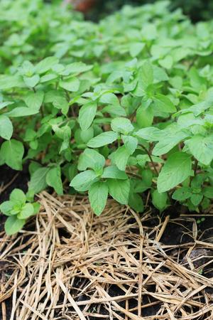 Mint leaves. Peppermint. Fresh mint in a garden.