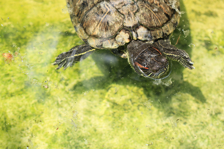 turtles in green pond water Stock Photo