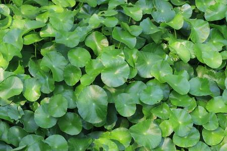 longevity: Gotu kola, Centella asiatica, Asiatic pennywort, green leaf background.