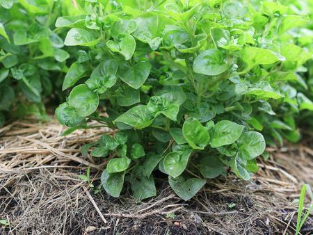 watercress in vegetable garden
