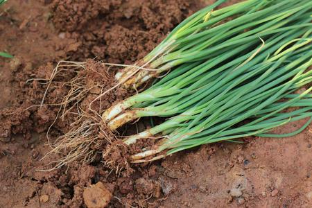 Spring onions, harvested vegetables in the garden. Banco de Imagens - 101650278