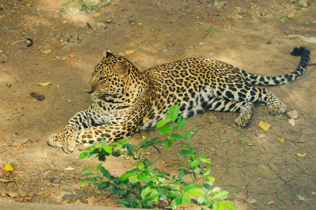 Leopard or Jaguar lying on the ground