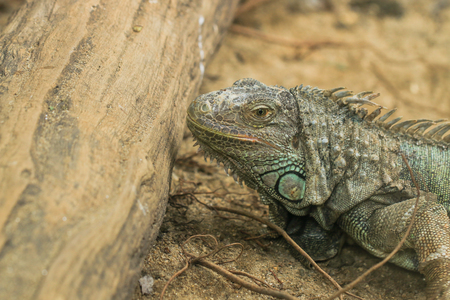 Closeup of iguana