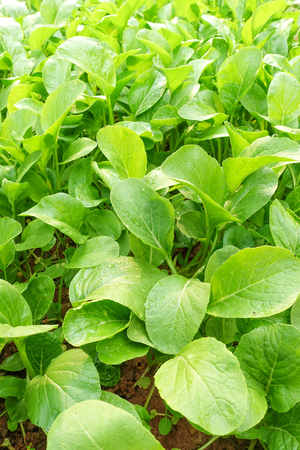 Green choy in vegetable garden Banco de Imagens