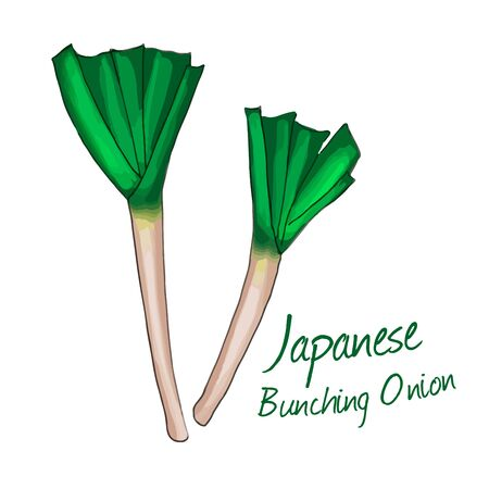 Japanese Bunching Onion isolated on white background. vector illustration. 일러스트
