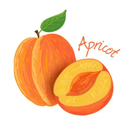Apricot, fruit doodle drawings vector illustration.