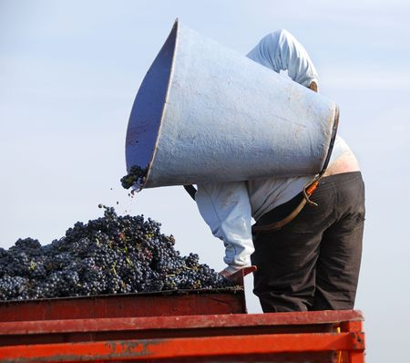 redwine: Harvesting the wine grapes in the vineyard in France Stock Photo