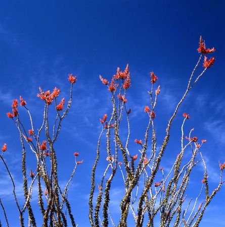 ocotillo: Springtime in the Sonoran Desert. The Ocotillo is the strangest looking plant of the desert. Not a cactus but usually referred to as one. Photographed in the Organ Pipe Cactus National Monument in Arizona. Stock Photo