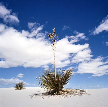 white sands national monument: White Sands National Monument, New Mexico, USA with Yucca