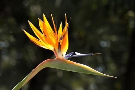 bloom bird of paradise: strelitzia reginae flower in a botanical garden