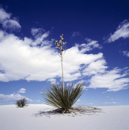 plantas del desierto: Una flor de yuca en la parte superior de una duna en las blancas arenas monumento nacional, Nuevo México, Estados Unidos.Las dunas son dunas de arena blanca, compuesta por cristales de yeso Foto de archivo