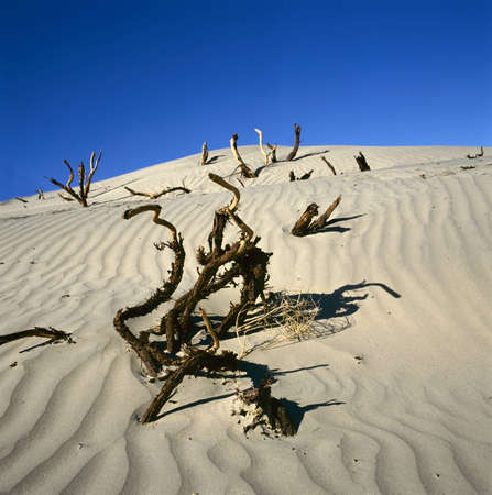 dead wood: Dead wood in Death valley, California, USA